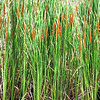 Cattails, Typha sp.