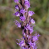 Blazing Star, Gay Feather, Liatris mucronata
