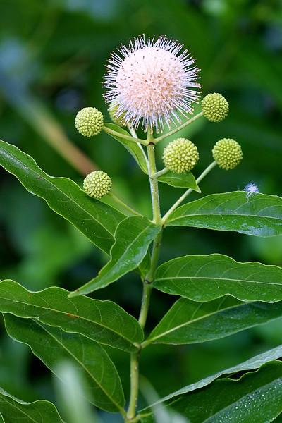 Buttonbush, Cephalanthus occidentalis