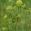 Prairie Parsley, Polytaenia nuttallii