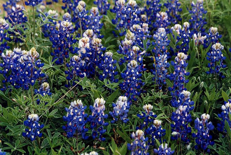 Texas Bluebonnets, Lupinus texensus