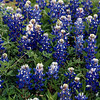Texas Bluebonnets, Lupinus texensus