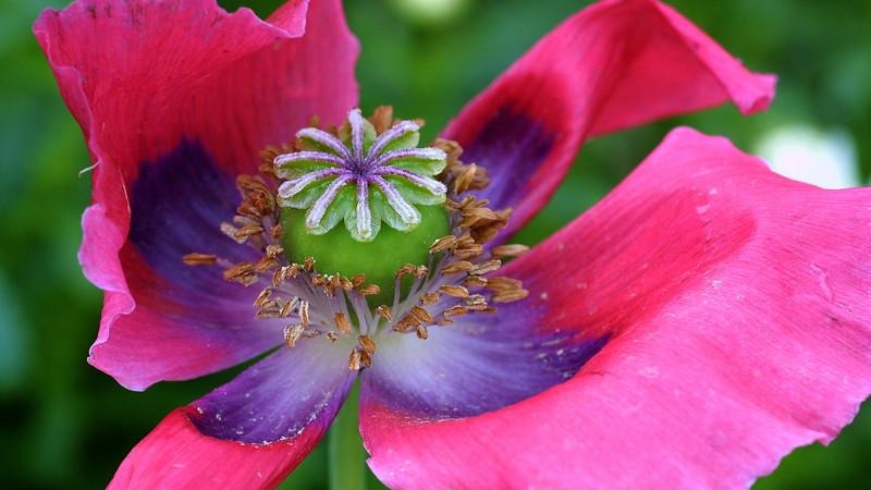 Poppy Flower, Papaver sp.
