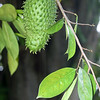 Sour sop, Annona sp.