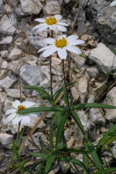 Black-Foot daisy, Melampodium leucanthum