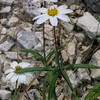 Black-Foot daisy, Melampodium leucanthum