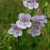 Wild Foxglove, Penstemon cobaea