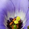 Gentian Bluebells, Eustoma grandiflorum