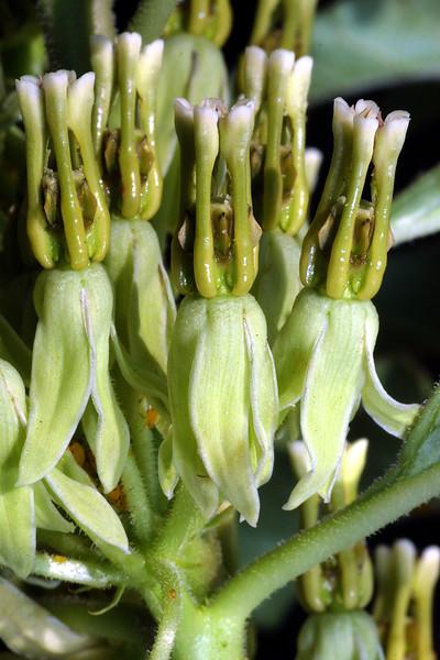 Hierba de Zizotes Milkweed, Asclepias oenotheroides