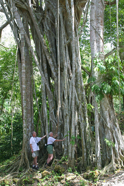 Strangler Fig, Ficus sp.