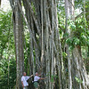Strangler Fig, Ficus sp.