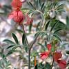 Scarlet Pea, Indigofera miniata