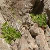 Rock nettle, Eucnide bartonioides