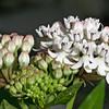 Texas milkweed, White milkweed,  Asclepias texana