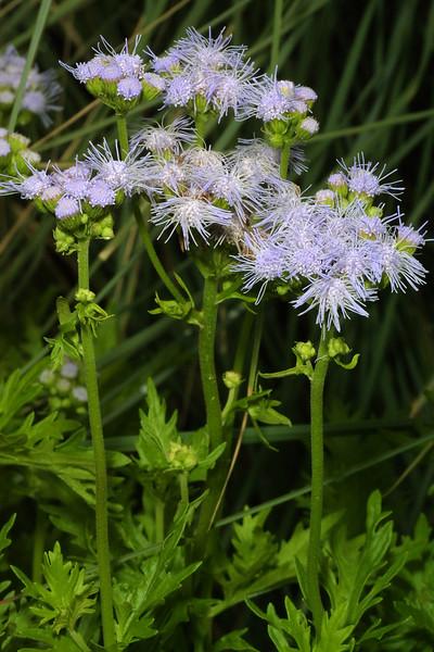 Blue Spiraea, Caryopteris incana