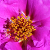 Mose Rose,  Portulaca sp.