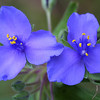 Spiderwort, Tradescantia sp.