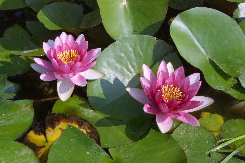 Water Lily, Nymphaea sp.