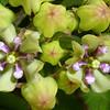 Green Milkweed, Asclepias viridis