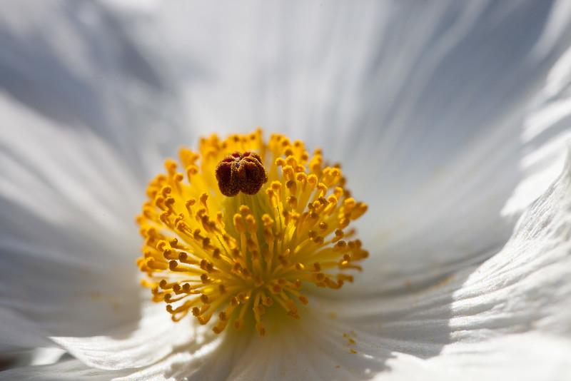 White Prickly Poppy, Argemone albiflora