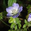 Texas Baby Blue Eyes, Nemophila phacelioides