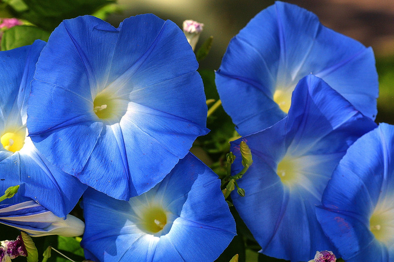Morning Glory,   Ipomoea tricolor