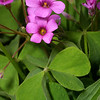 Violet Wood Sorrel, Oxalis violacea