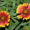 Gaillardia Indian Blanket, Gaillardia pulchella