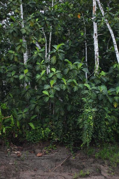 Bread fruit, Artocarpus altilis