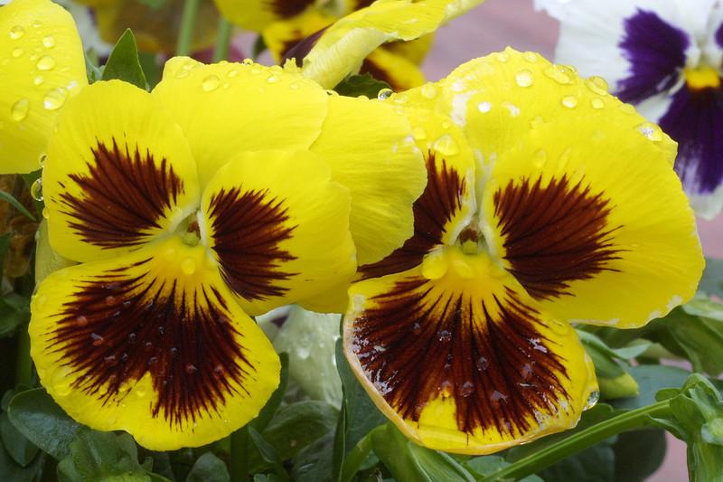 Pansie, Viola sp.