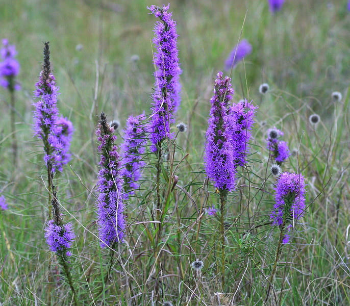 Gay Feather, Blazing Star, Liatris sp.