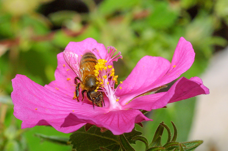 Rock Rose, Honey Bee, Apis mellifera