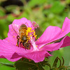 Rock Rose, Honey Bee, Apis mellifera