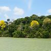 Yellow Poui, Tabebuia, Tabebuia ochracea