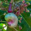 Cashew, Anacardium occidentale