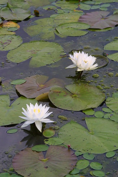 Fragrant Water Lily, Nymphaea odorata