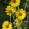 Maximillian Sunflower, Helianthus maximiliani