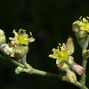 Wild Buckwheat, Eriogonum longifolium