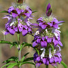 Purple Horsemint, Lemon Beebalm, Monarda citriodora