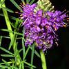 Purple Prairie Clover, Petalostemum pulcherrimum (Dalea compacta)