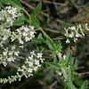 Kidney Wood, Eysenhardtia texana