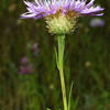 Basket flower, Centaurea americana