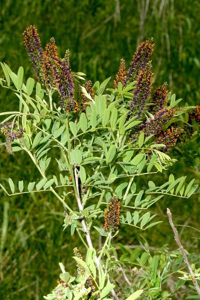 False Indigo, Amorpha fruticosa