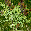 False Indigo, Amorpha fruticosa