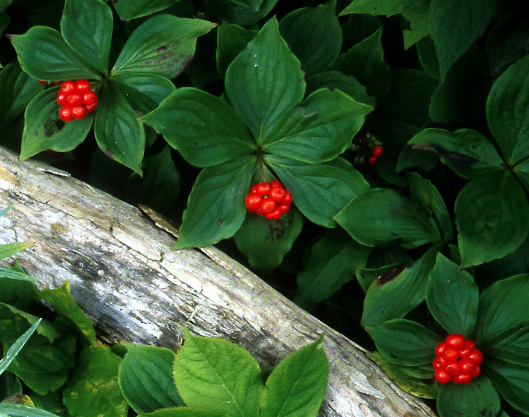 Bunch Berry, Cornus unalaschkensis