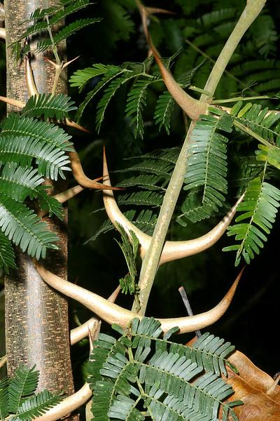 Bull horn acacia