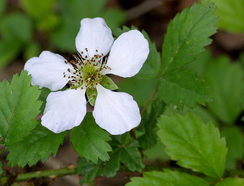 Southern Dewberry, Rubus trivialis