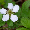 Southern Dewberry, Rubus trivialis