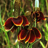 Mexican Hat flowers, Ratibida columnaris