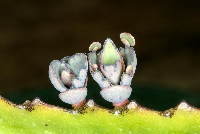 Devil's Backbone, Kalanchoe, Bryophyllum daigremontianum